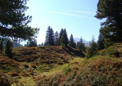 Alpenrosen in der Moränenlandschaft