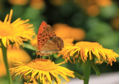Kaisermantel auf Blume