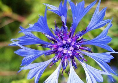 Blumen-Kornblume