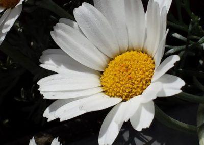 Blumen-Margrite