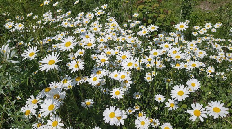 Blumen-Margriten