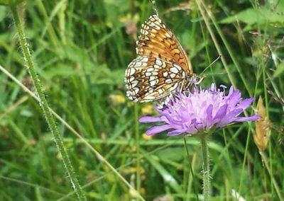Schmetterlinge - Baldrian Scheckenfalter