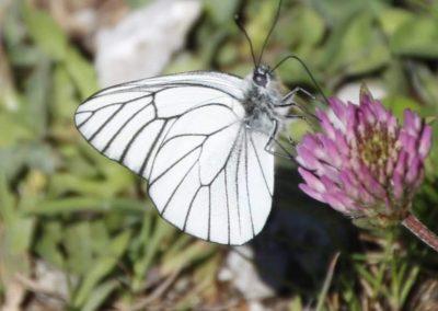 Schmetterlinge - Baumweissling