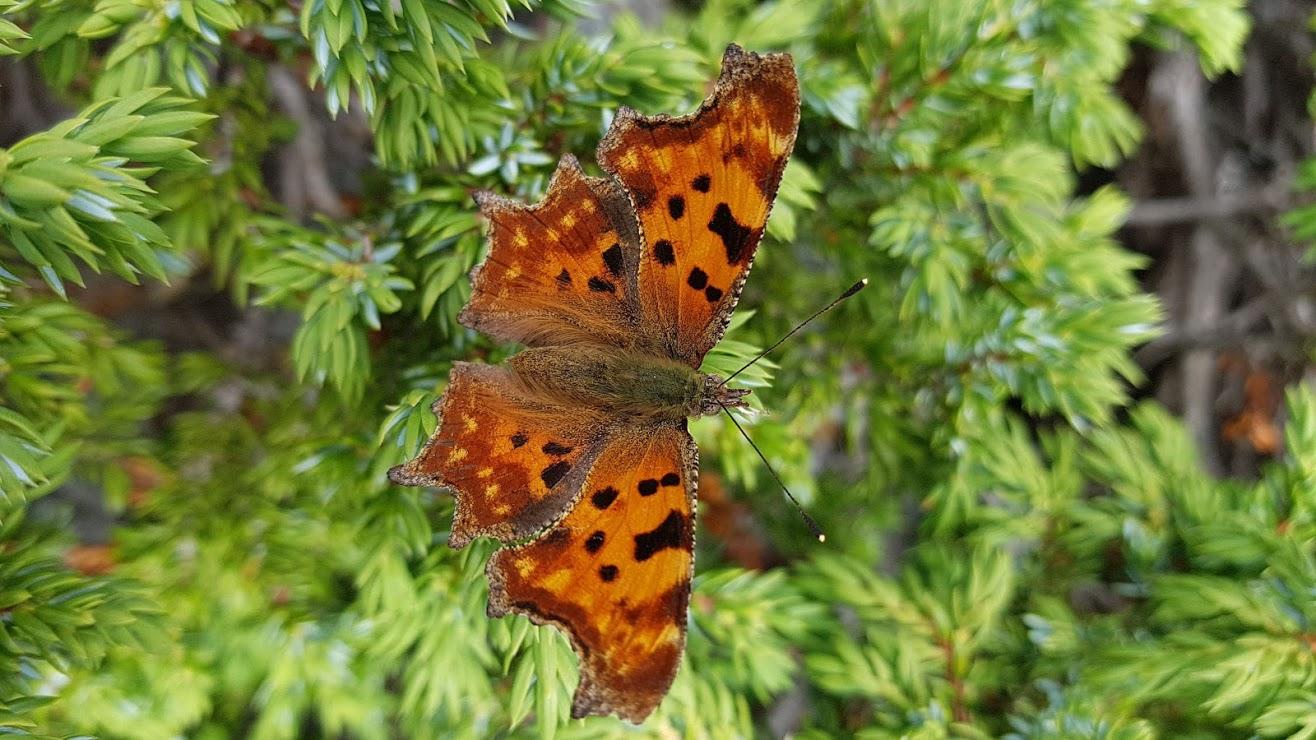 Schmetterlinge C-Falter