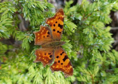 Schmetterlinge - C-Falter