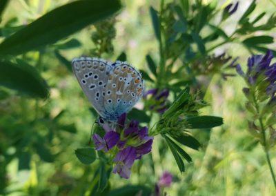 Schmetterlinge - Gemeiner Bläuling