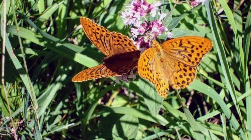 Schmetterlinge - Kaisermantel