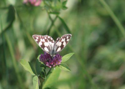Schmetterlinge -Schachbrettfalter
