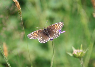 Schmetterlinge-Scheckenfalter
