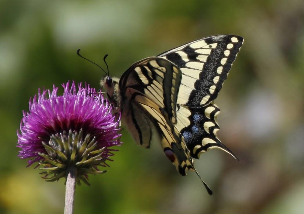 Schmetterlinge-Schwalbenschwanz