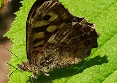 Schmetterlinge Waldbrettspiel