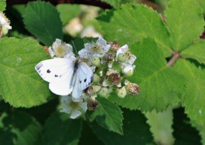 Schmetterlinge - Kohlweissling