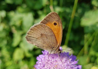 Schmetterlinge - kleines Ochsenauge