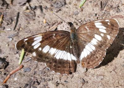 Schmetterlinge- kleiner Eisvogel